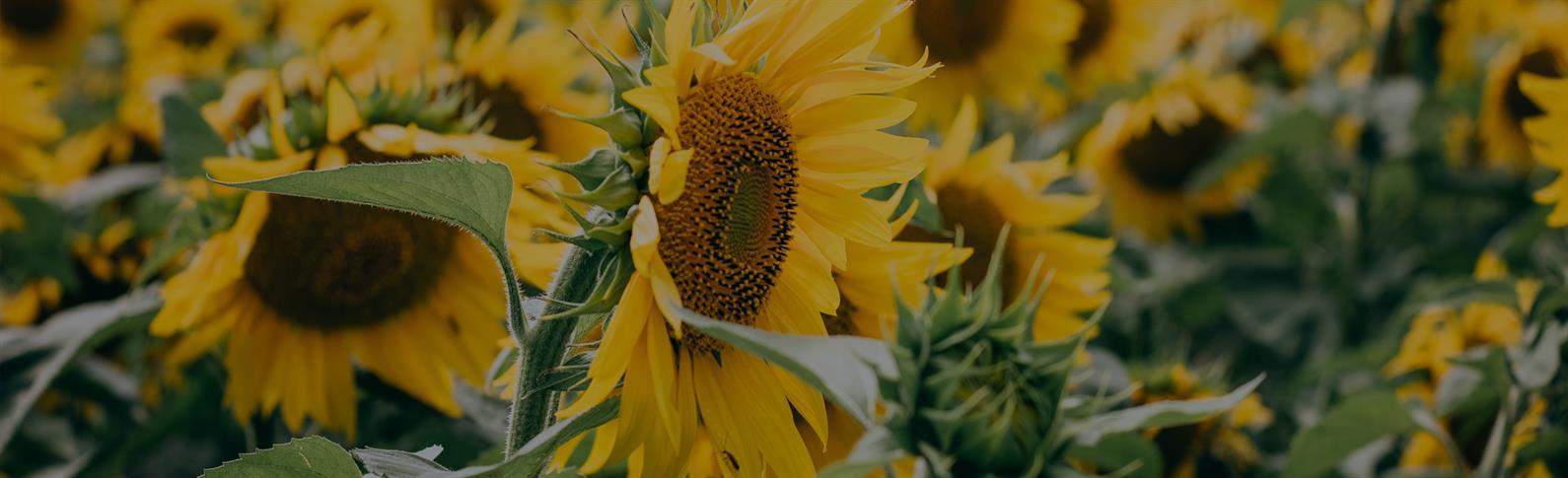 SliderImageSunflower